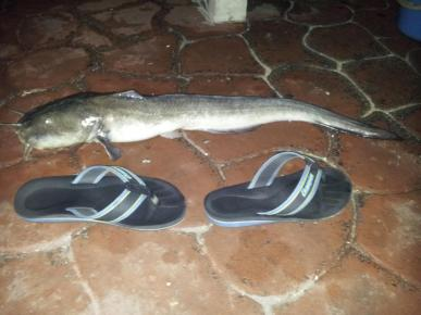 BMcatfish
