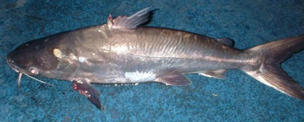 mcatfish251106.jpg